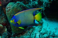 Queen Angelfish, Bonaire, Netherlands Antilles by Pete Oxford - various sizes