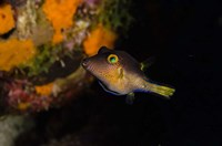 Sharpnose Puffer fish, Bonaire, Netherlands Antilles by Pete Oxford - various sizes