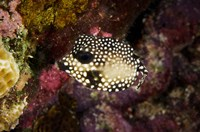 Smooth Trunkfish, Bonaire, Netherlands Antilles by Pete Oxford - various sizes