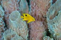 Threespot Damselfish, Azure Vase Sponge, Caribbean by Pete Oxford - various sizes