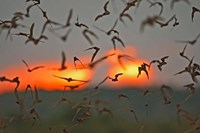 Mexican Free-Tailed Bats, Concan, Texas, USA Fine Art Print