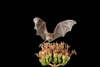 Lesser Long-nosed Bat, Tuscon, Arizona Fine Art Print