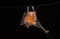 Fishing Bat, Iwokrama Forest Reserve, Guyana by Pete Oxford - various sizes