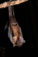 USA, Pennsylvania, Giant Fruit Bat by Joe & Mary Ann McDonald - various sizes, FulcrumGallery.com brand