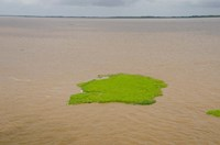 Brazil, Amazon, Manaus The Meeting of the Waters Floating plant mat by Cindy Miller Hopkins - various sizes