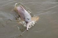 Brazil, Amazonas, Rio Tapajos Freshwater pink Amazon dolphin by Cindy Miller Hopkins - various sizes