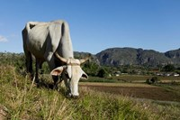 Ox Grazing, Farm animals, Vinales, Cuba Fine Art Print