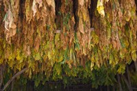 Drying tobacco, Cuba by Keren Su - various sizes