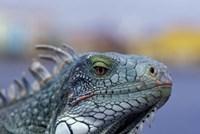 Iguana, Curacao, Caribbean by Greg Johnston - various sizes