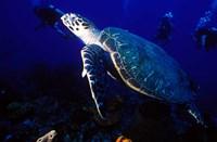 Loggerhead Turtle, Dominica, Caribbean by Greg Johnston - various sizes