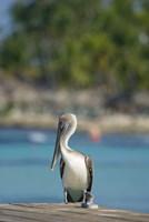 Dominican Republic, Bayahibe, Pelican bird Fine Art Print