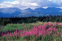 Fireweed Blooms near Kluane National Park, Yukon, Canada Fine Art Print
