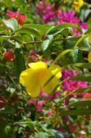 Bouganvillea, Dominican Republic Fine Art Print