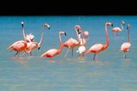 Tropical Bird, Flamingos, Barahona, Dominican Republic by Greg Johnston - various sizes