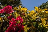 Bougainvillea flowers, Bavaro, Higuey, Punta Cana, Dominican Republic Fine Art Print