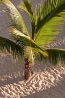 Palm tree, Bavaro Beach, Higuey, Punta Cana, Dominican Republic Fine Art Print