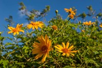 Tropical yellow flowers, Bavaro, Higuey, Punta Cana, Dominican Republic by Lisa S. Engelbrecht - various sizes