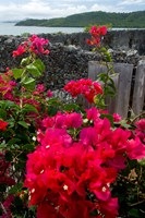 Flowering Bougainvillea & Ruins, Chateau Dubuc, Martinique, French Antilles, West Indies Fine Art Print