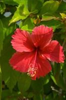 Dominican Republic, Bavaro, Hibiscus flower by Lisa S. Engelbrecht - various sizes