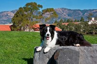 A Border Collie dog by Zandria Muench Beraldo - various sizes
