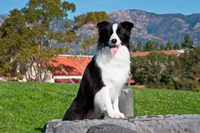 A Border Collie dog sitting by Zandria Muench Beraldo - various sizes