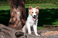 A Border Collie puppy dog  by a tree Fine Art Print
