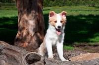 Border Collie Puppy Dog