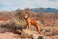 Pitt Bull Terrier Dog