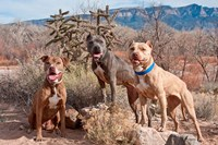 Three Pitt Bull Terrier dog, New Mexico Fine Art Print