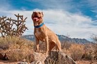 Pitt Bull Terrier dog Fine Art Print