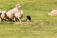 Purebred Border Collie Dog and Sheep