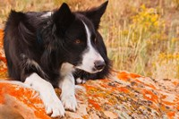 Purebred Border Collie dog on moss rock by PiperAnne Worcester - various sizes