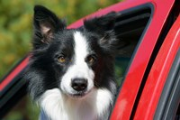 Purebred Border Collie dog, red truck window Fine Art Print