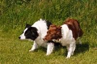 Purebred Border Collie dogs Fine Art Print