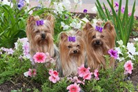 Purebred Yorkshire Terrier Dog in flowers Fine Art Print