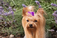 Purebred Yorkshire Terrier dog, purple bow Fine Art Print
