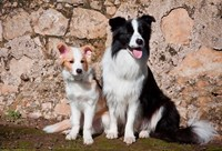 An adult Border Collie dog with puppy by Zandria Muench Beraldo - various sizes