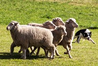 Purebred Border Collie dog turning sheep by PiperAnne Worcester - various sizes