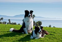 Two Border Collie dogs by Zandria Muench Beraldo - various sizes