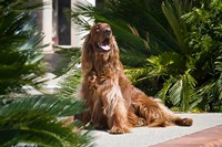 An Irish Setter dog surrounded by cycads Fine Art Print