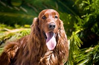 An Irish Setter lying surrounded by greenery Fine Art Print