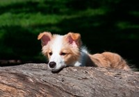 Border Collie puppy dog looking over a log by Zandria Muench Beraldo - various sizes