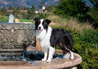 A Border Collie dog standing on a fountain by Zandria Muench Beraldo - various sizes