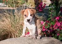 An American Pitt Bull Terrier puppy dog Fine Art Print