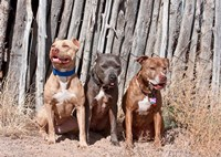 American Pitt Bull Terrier dogs, NM by Zandria Muench Beraldo - various sizes