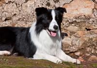 A Border Collie dog next to a rock wall Fine Art Print