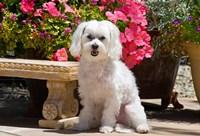 USA, California Maltese sitting next to garden bench with flowers Fine Art Print