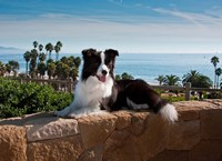 A Border Collie dog resting on a wall Fine Art Print