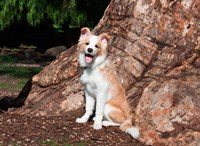 A Border Collie puppy dog Fine Art Print
