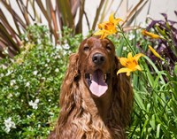 Portrait of an Irish Setter sitting next to yellow flowers Fine Art Print